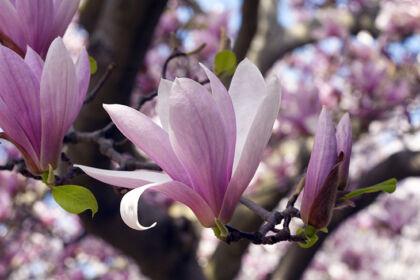 Magnolia 'Dixie'-Springfield, New Jersey