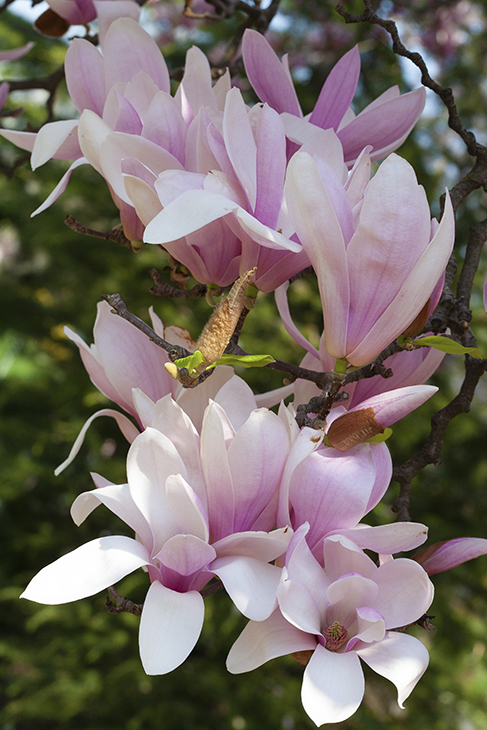 Magnolia-'Dancing in the Spring'-Springfield, New Jersey
