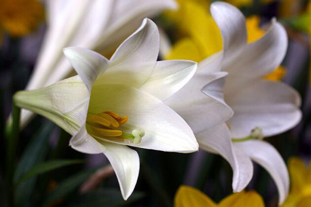 "IMG_7694-Lily ""Perfumery'-West Side Community Garden, New York City"