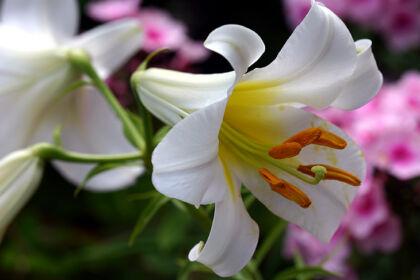Elegant Easter Lily-Nantucket, Massachusetts