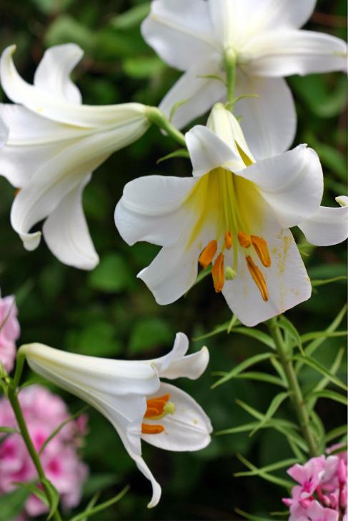 IMG_9914C-Easter Lily 'Resurrection' Nantucket, Massachusetts-
