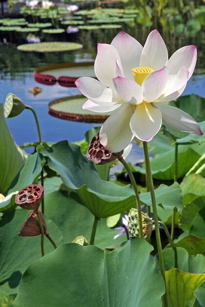 IMG_9919-2019-'Sacred Lotus'-The New York Botanical Garden