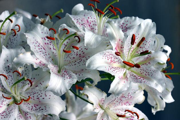 Web-128_2861-Oriental Lilies-Martha's Vineyard, Massachusetts
