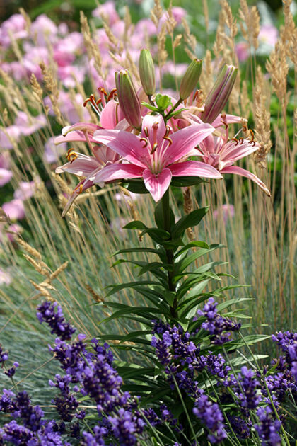 198_9857-Lady Lily & Lavender, No.1-New York City