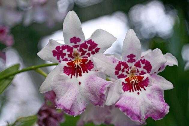 Beallara Orchid Purple Haze 'Jimi Hendrix'-The New York Botanical Garden