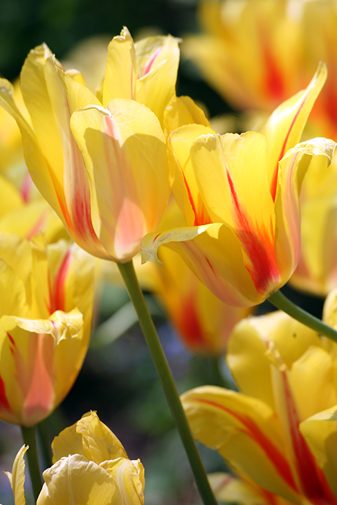 -Tulip 'Yellow Vibrations II'-Central Park, New York City