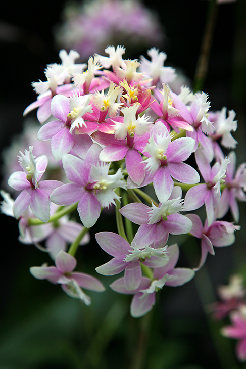 Epidendrum Orchid, Princess Valley 'Innocence' No.1-The New York Botanical Garden