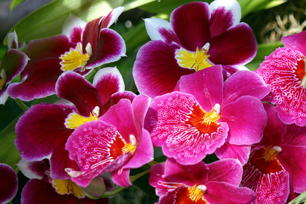 Miltoniopsis Orchids_The New York Botanical Garden