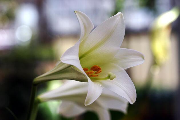 Web-IMG_5432_Whit Trumpet Lily_Nantucket, Massachusetts