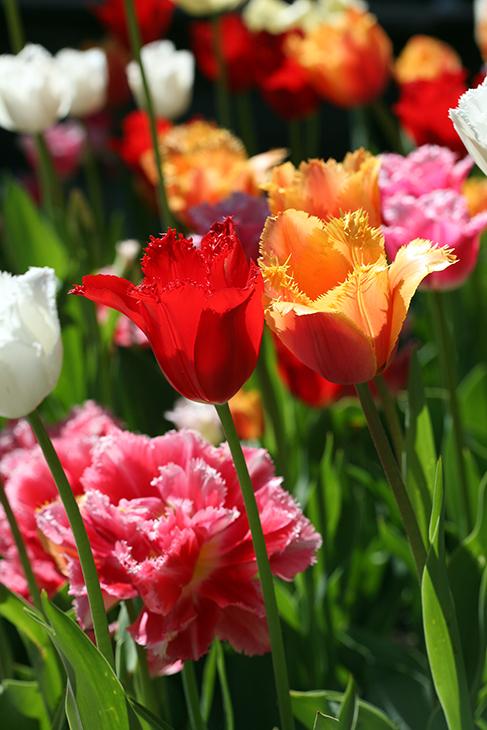 Web-IMG_9109-'Shabby Chic Tulips'-West Side Community Garden, New York City