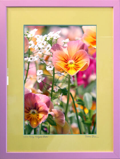 Pansy 'Antique Shades' in Pink, Green & Yellow
