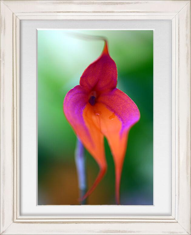 WEB_'Masdevallia Vetchiana' Orchid in White Frame