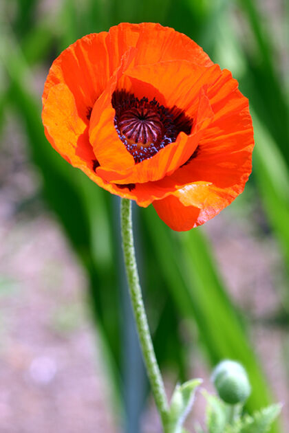 Web-190_9058-Poppy Pride-The New York Botanical Garden