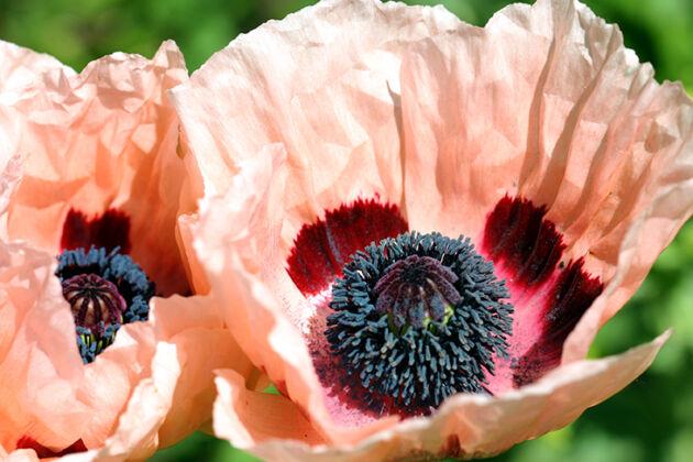 Web-190_9070_Poppy 'Queen Alexandra'_The New York Botanical Garden