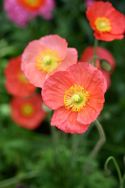 Web-192_9225-Icelandic Poppies-The New York Botanical Garden