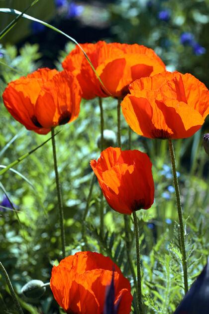 Web-193_9373_Poppy 'Flanders Fields' II_The New York Botanical Garden