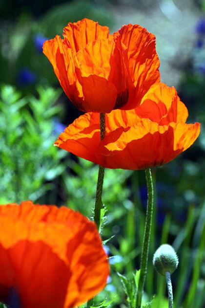 Web-193_9377_Poppy 'Flanders Fields' I_The New York Botanical Garden