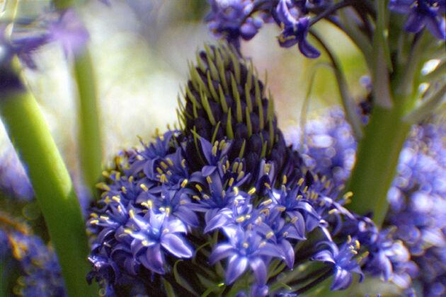 Web-61*F-'Violet Mist Hyacinth'-Nantucket, Massachusetts