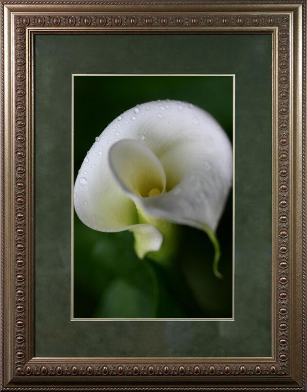 DSC03019-'Morning Dew Callalily' in Egg & Dart Frame