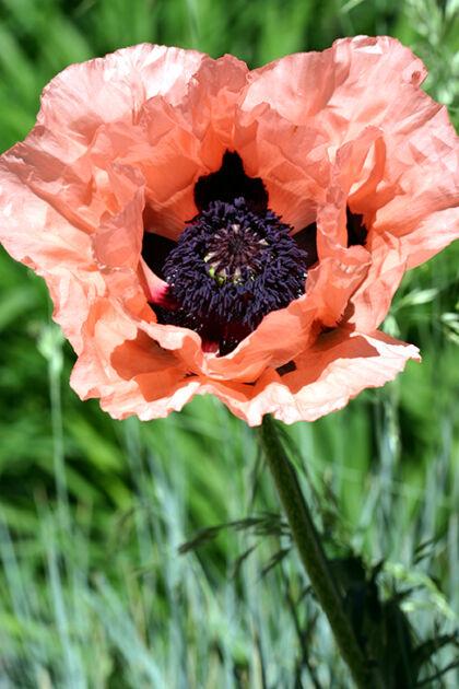 Web-IMG_0005_Poppy 'Princess Louise' II_Santa Fe, New Mexico