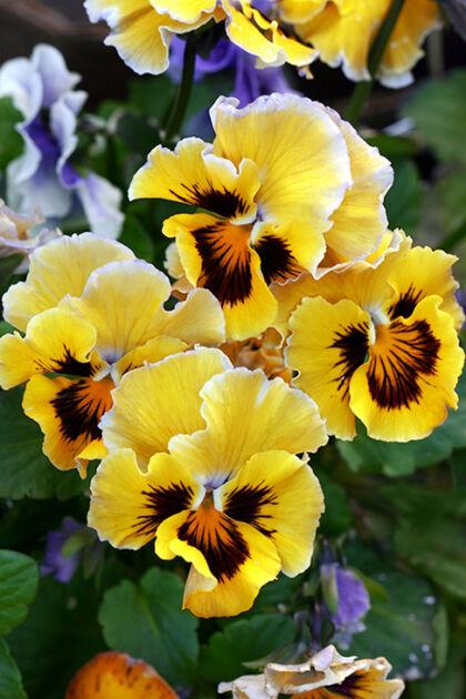 Canary Yellow Pansies_Nantucket, Massachusetts