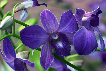 Web-IMG_5168-Dendrobium Orchid 'Coerulea Blue'