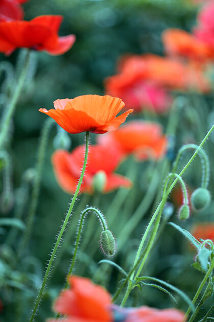 Web-IMG_8771C_Corn Poppy 'Shirley Single Mix', No.1_The New York Botanical Garden