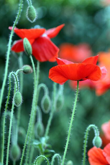 Web-IMG_8771C_Corn Poppy 'Shirley Single Mix', No.2_The New York Botanical Garden