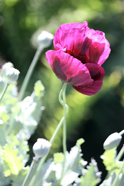 Web-IMG_9121-Poppy 'Remembrance'-The New York Botanical Garden