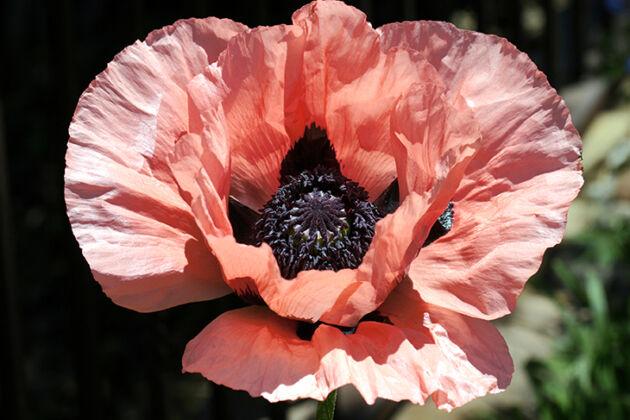 Web-IMG_9996F_Poppy 'Princess Louise' I_Santa Fe, New Mexico