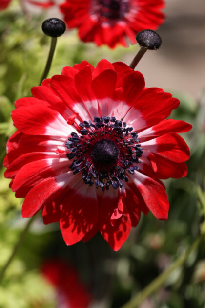 Poppy Anemone 'Governor'-Chicago Botanic Garden, Illinois