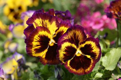 IMG_2136-'Gypsy Rose Pansies'-The New York Botanical Garden