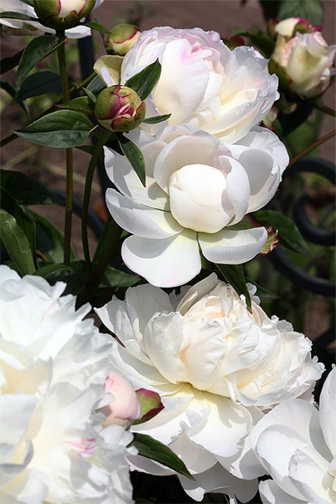 IMG_5248-2019-Peony Awakening I-The New York Botanical Garden