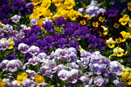 Field of Dreamin' Pansies, I_The New York Botanical Garden