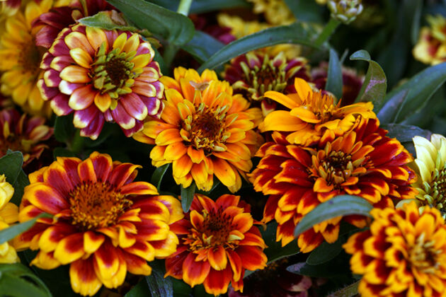 IMG_6854-'Autumn Blast Zinnias'-New York City