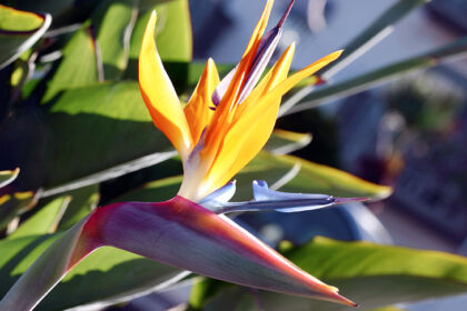 Web-146_4692C-Bird of Paradise IV-Santa Barbara, California