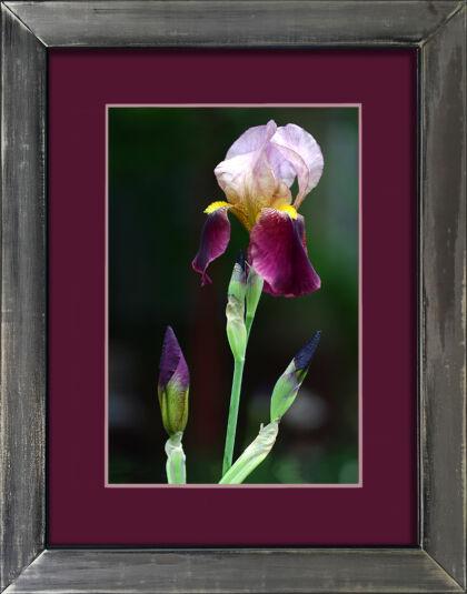 'Iris Queen'-West Side Community Garden, New York City