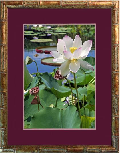 Web-'Sacred Lotus' in Bamboo-The New York Botanical Garden
