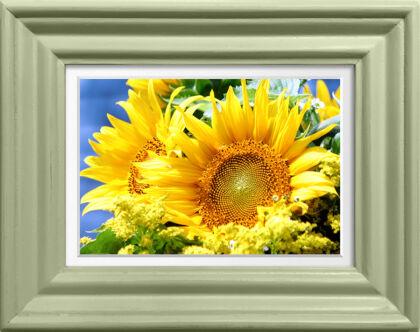 Brilliant Sunflower in Spring Green-Nantucket, Massachusetts