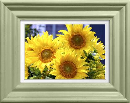 Sunflower Trio in Spring Green-Nantucket, Massachusetts