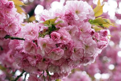 Web-DSC03557-Cherry 'Double Blossom'-Springfield, New Jersey