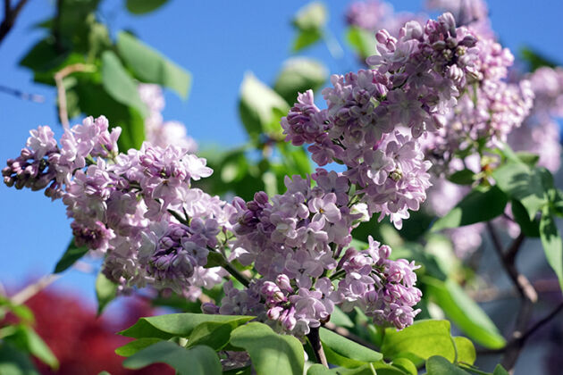 DSC04135-2019-Lilac Skies-Springfield, New Jersey