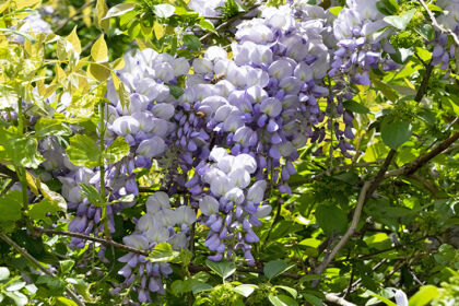 Web-DSC04270C-Wisteria & Bumbles-Springfield, New Jersey