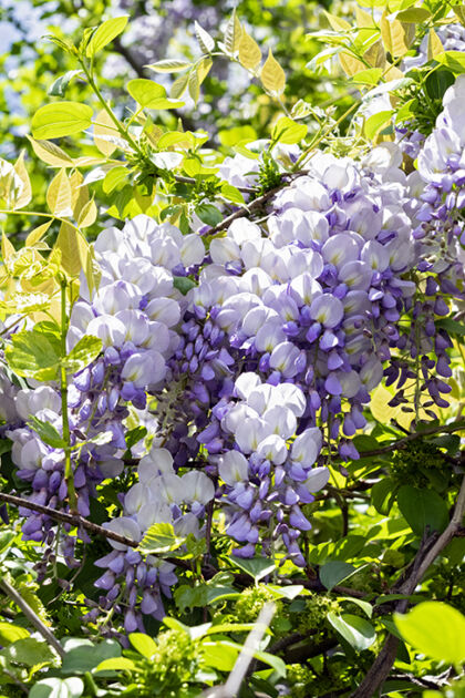 Web-DSC04273C-Wisteria 'Lavender Shades'-Springfield, New Jersey