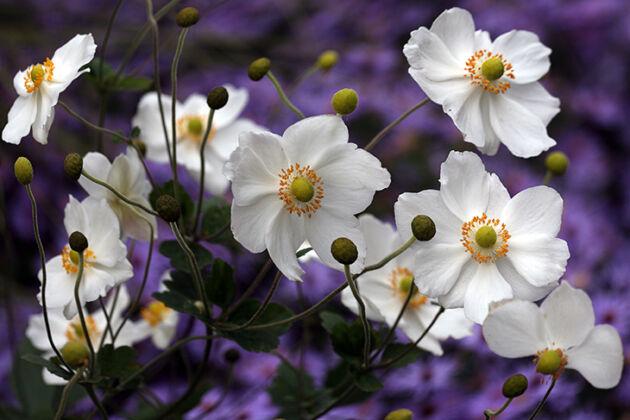 Web-IMG_1248_Japanese Anemone 'Honorine Jobert'_The New York Botanical Garden