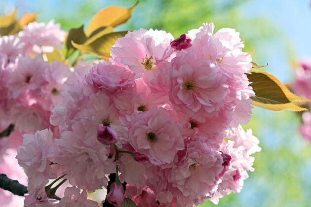 Web-IMG_1299-Springtime Cherry Blossoms-Central Park, New York City