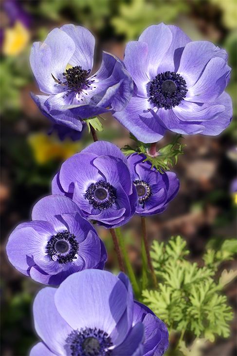 IMG_2267CF-Poppy Anemone 'Teeming Violet'-Chicago Botanic Garden