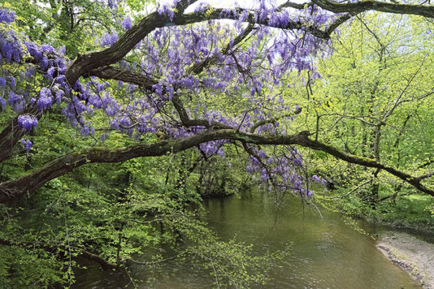 Web-Water Wisteria-Springfield, New Jersey