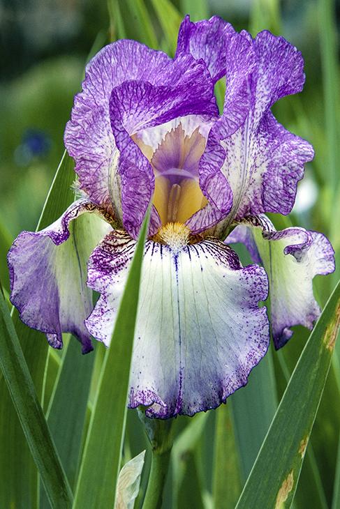 IMG_7733C-Autumn Tryst-Presby Memorial Iris Garden, New Jersey