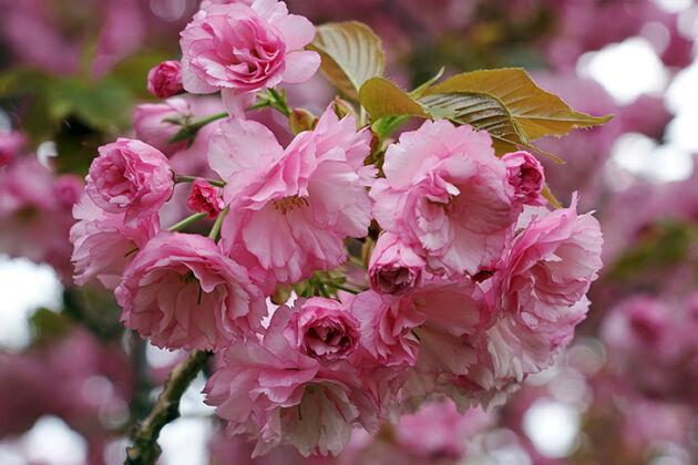DSC03554C2-Cherry Beauty of Life-Springfield, New Jersey